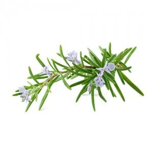 Rosmary Officinalis L.